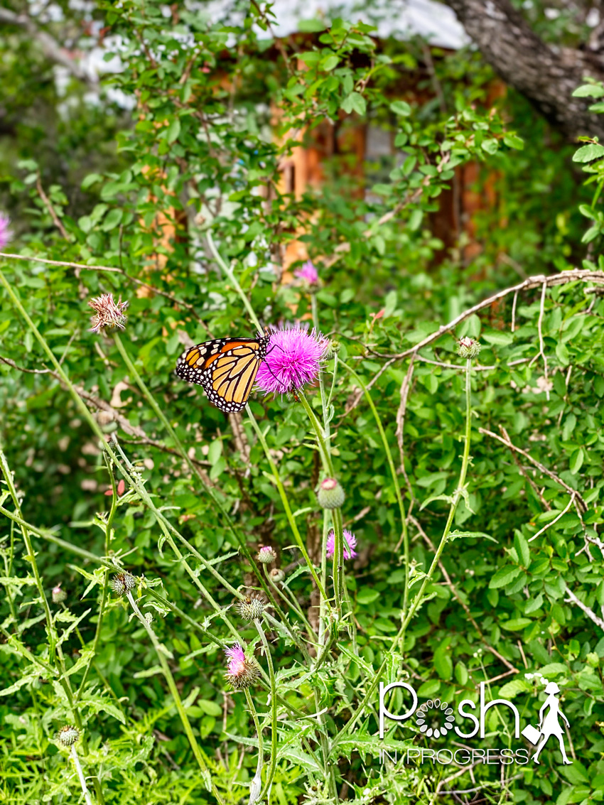 Hamilton Pool Reserve by popular LA travel blog, Posh in Progress: image of a monarch butterfly on a purple flower at the Hamilton Pool Reserve.
